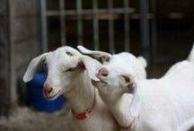 Keeping goats for milk or meat / The care and nurture of goats for milk or meat sources / by Emergency Essentials
