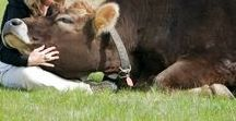 """My Love for Cows & Farm Life / This is what was in """"My Dream"""""""