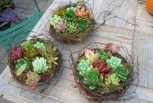 Succulent Gardens / Succulents in unusual container