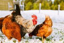 Backyard Flock / Chickens, chicken care, chicken coops, everything chickens!