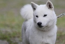 HOKKAIDO DOG / 北海道犬/アイヌ犬【HOKKAIDOINU】 Country of origin:JAPAN / by docs
