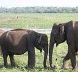 Sri Lanka Animaux / Sri Lanka Elefants, whales, birds, Crocodiles