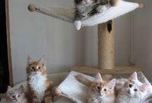 Mes chats norvegiens / Chat - cat - norvegien - skogkatt - kitten