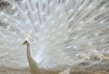 Birds: PEACOCK