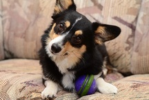 CUTE CORGIS - BLACK HEADED TRI-COLORS / by Ronni Rittenhouse