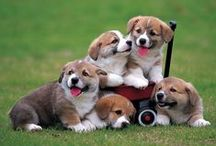 CUTE CORGIS - PUPPIES / by Ronni Rittenhouse