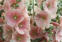 Le Potager ~ Legumes & Fleurs / heirloom veggies + flowers for beautiful gardens