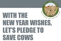 News articles / What the world is saying about saving cows....important government laws and judgements etc.