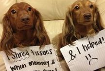 Dachshund shaming