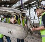 #WhaleMove / Our blue whale skeleton is set to welcome visitors through the Museum's main entrance from summer 2017. Moving the giant specimen from the Mammals Hall, where is has hung since the 1930s, to our central space is a mammoth undertaking - we've been following the work of the #WhaleMove team as they prepare the whale for display next year.