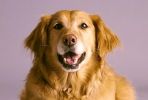 Goldens  / We'll steal your ❤❤ with just a glance  / by Joann Thompson