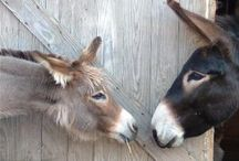 Asses / I love the wonderful expressions their eyes give.  Both Donkeys & Mules... Very intelligent animals! / by Kim Harris