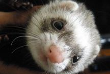 Ferret / This board is dedicated to my gorgeous little ferret Phoenix who gave me so much love and joy.  A massive hole was left in my heart when she passed.