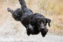 Labrador retriever black / ○ ♥ ○ / by Andrea Mackova