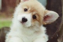 pup / mostly corgis