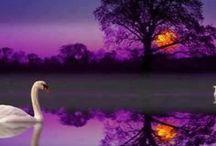 Graceful Beauty of Swans / by MaryAnne Pusey