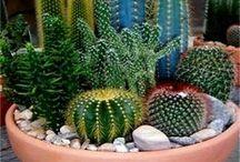 Sukulenty a kaktusy / Bacha,píchají!!!