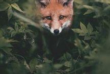 fox / Foxy, Foxy, Foxy