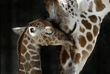 Giraffes / There's just something amazing about a giraffe. / by Marie-France Lamothe