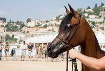 Le Pur Sang Arabe / L'origine du Pur sang Arabe reste un grand mystère. Bien que cette race unique a eu une identité nationale, son histoire est pourtant pleine de subtilités, de complexités et de contradictions. Les autorités sont en désaccord sur l'endroit où le cheval Arabe est originaire.