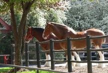 Le Clydestale / La Société du cheval Clydesdale a été fondée en 1877. L'origine de cette race a longtemps été basée sur deux opinions... La première déclare que les étalons flamands en sont les pères, et les juments d'Ecosse les mères.