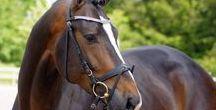 Le Holstein / Le Holstein dont l'origine remonte au XIIIème siècle, est une des plus anciennes race d'Allemagne. Au Moyen Âge, il était utilisé pour la guerre. Avec l'essor des cloîtres et de la réforme, son sang fut renouvelé à l'aide de chevaux orientaux, Napolitains et Espagnols. Dès le XVIème siècle, l'Holsteiner est connu partout, des Haras en Espagne, en Italie, en France, au Danemark décidèrent d'acheter des chevaux de cette race.