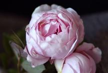 roses / by Toah Dudsadee