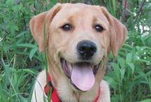 "Yellow Labrador ""Gordo"" / Gordo:  best dog in all the land!"