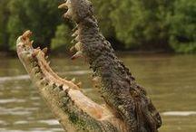 Crocodile[鰐]