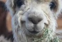 All about alpacas / A farm isn't complete with out a few of these cute and cuddly alpacas.  At Our Simple Homestead alpacas will soon being joining our barnyard! http://oursimplehomestead.com.