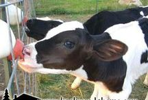All about cows