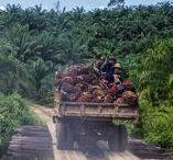 Impacts of Palm Oil / Palm oil is an unsustainable product used in half of every product at the supermarket.