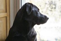 Lab Lover / Adorable labradors! / by Wanda Richardson