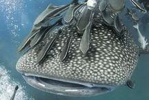 Sharks: The Hunted Hunters