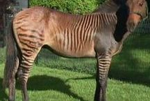 Fauna - лошади-зебры