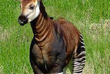 Fauna - Окапи