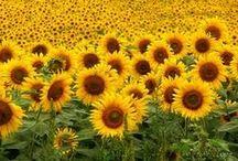 Sunflowers / by Nyla Parker