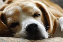 Beagles / Sadie, Sophie and Snooki - our beagles, plus other beagles we love