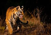 10. TIGERS IN FOCUS (WKT) / A week of wildlife in Bandhavgarh, one of India's top tiger reserves.