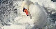 лебеди, птицы