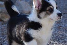 Miniature Husky / Alaskan Klee Kai Dogs