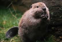 Beavers / Hard working animals