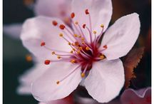 Cherry Blossom 桜 / The beloved creatures of Nature, the most charming petals.