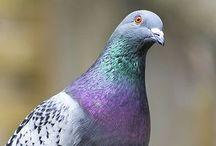 Pigeons  ❤️