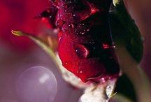 Güllerim