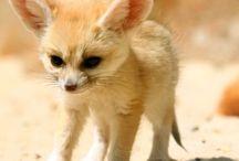 Fennec Fox / Baby fennec fox