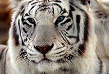 Tigers / Tigre: el más hermoso del reino animal. / by Cecilia Cervantes