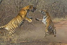 Ranthambore National Park / Counted among the largest national parks in Northern India, Ranthambore National Park is home to tigers, leopard, wild boar, sambar and various other animals. It is situated in Sawai Madhopur district of southeastern Rajasthan.
