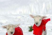 Lambs *** Sheep