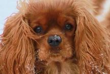 ~♥Cavalier King Charles Spaniel♥~ / I love Cavaliers. I have 6 of my own and breed them. Check out my website at www.cavaliersforroyalty.com Facebook is cavaliers for royalty  Dori Goff White 843-992-2385  / by Dori White